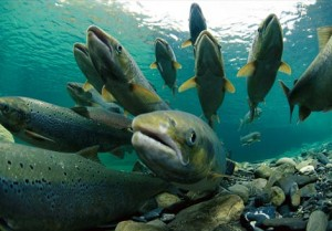 spawning-salmon