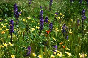 California_Wildflowers_(3386132276)
