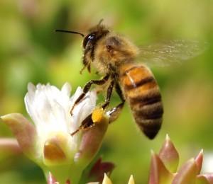 Gary-Tate-Riverside-CA-Honey-Bee-taking-flight-Riverside-Ca-300x260-300x260