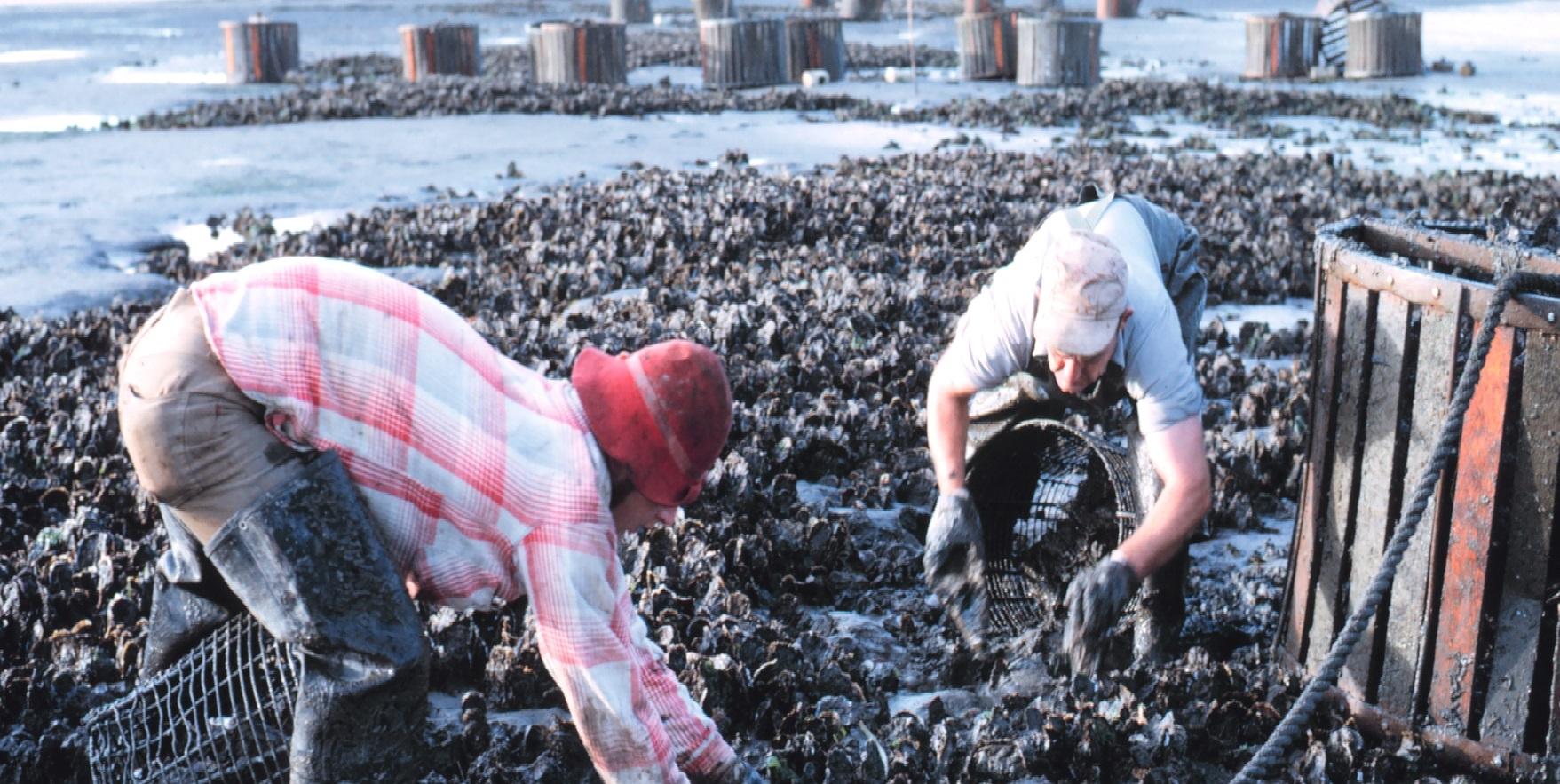 Oyster_Farming