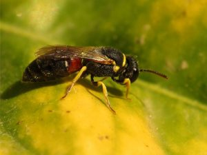 yellow-faced_bee_15334189274