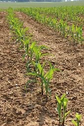 cornplants