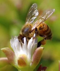 Gary Tate Riverside CA Honey Bee taking flight Riverside Ca2