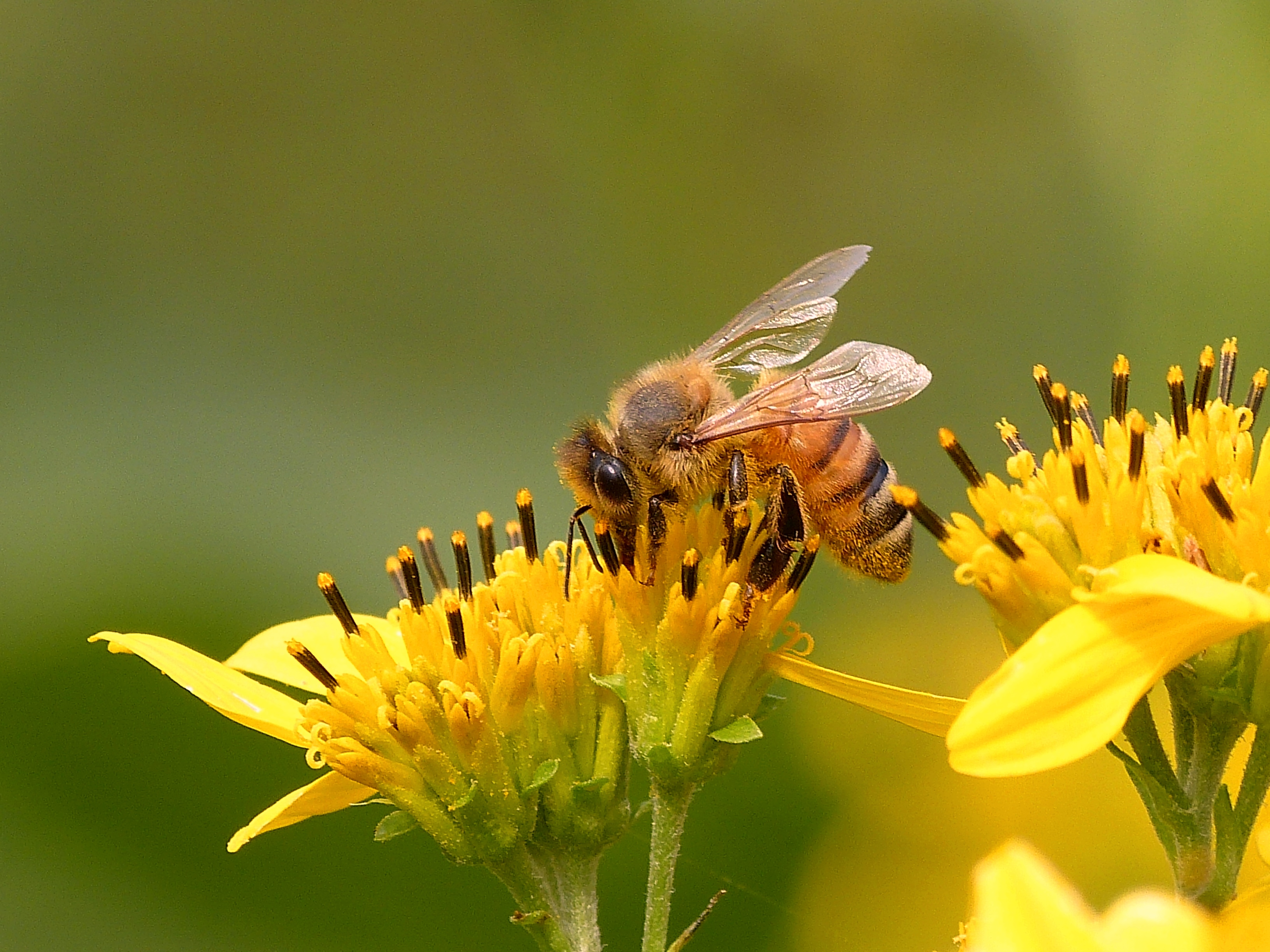 Susan Quals Algood TN Honeybee on Yellow Crownbeard2