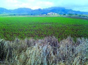 kauaicornfields