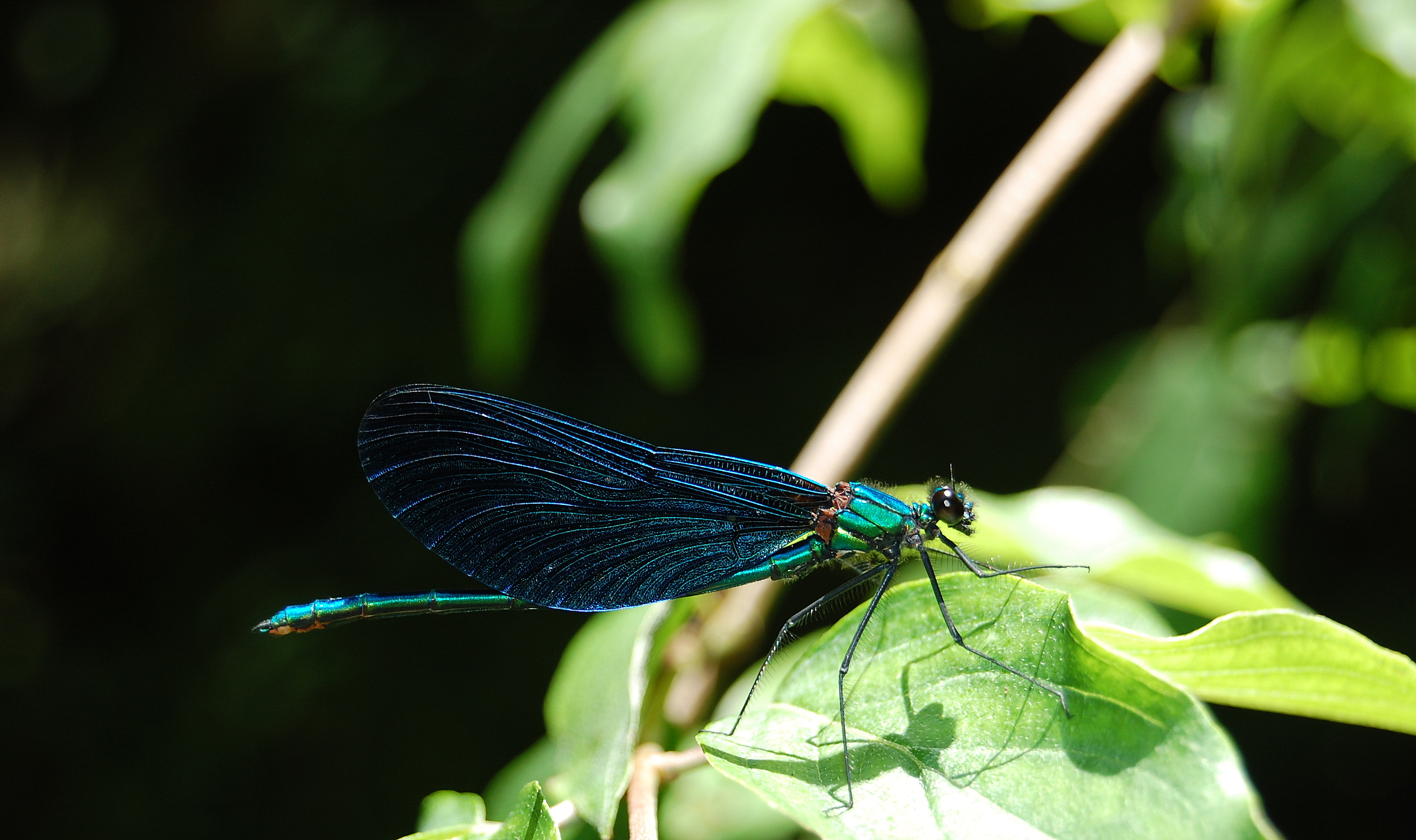 Blue_Dragonfly_Iski_Vingart